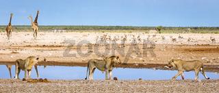 Löwen am Wasserloch, Etosha-Nationalpark, Namibia, (Panthera leo) | lions at a waterhole, Etosha National Park, Namibia, (Panthera leo)