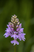 Heath Spotted Orchid  'Dactylorhiza maculata'