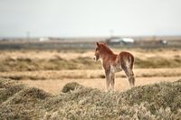 Small, young horse in Iceland