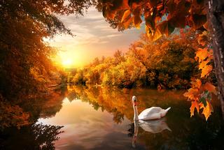 Swan on autumn pond