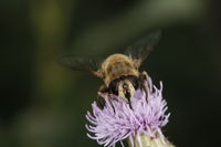 Drone Fly on a Thistle