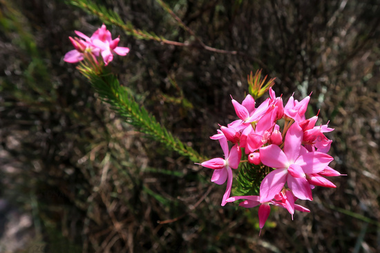 Pink mountain flowers at Cachoeira Da Fumaca, Smoke Waterfall, Vale Do Capao, Chapada Diamantina National Park, Brazil