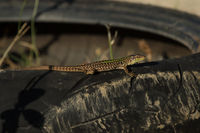 Dalmatian wall lizard on car tire