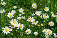 Marguerites with a beetle in a flower meadow