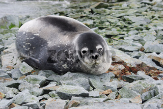 Weddell seal which lies on rocks on an island in the Antarctic waters