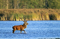 Red stag cross through a pond