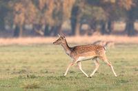 Fallow Deer, Dama dama, female running on the grass in Dyrehave, Denmark.