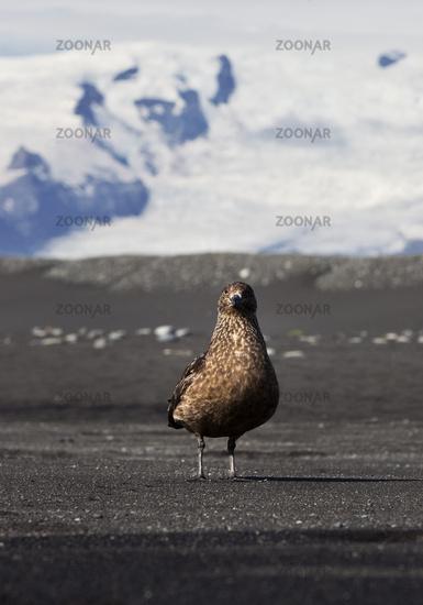 Skua (Stercorarius skua) on black beach in front of the Vatnajoekull, Breidarmerkursandur, Iceland
