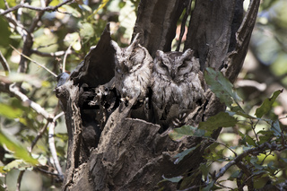 two Indian scops owl sitting near hollows in a thick branch of a tree on a winter day