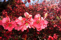 red flowers of ornamental quince