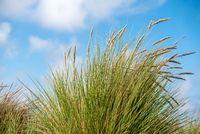 Dunes gras