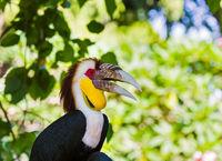 Wreathed Hornbill bird in Bali Island Indonesia