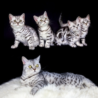Mother with nest tabby kittens on black background