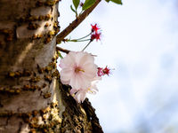 Young cherry sprout growing from tree trunk showing some blossoms.