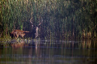Red stag in a pond