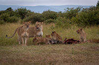 Lionesses guard five cubs eating wildebeest carcase