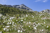 Cotton grass below the Großer Moosstock peak in Aurina Valley in South Tyrol, Italy