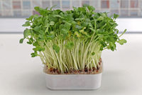 Edible Watercress
