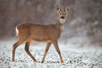 Roe deer, capreolus capreolus, doe in wintertime during a snowfall.