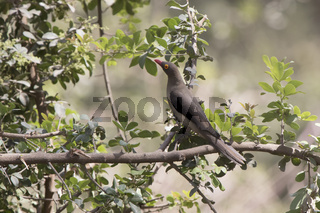 Red-billed Oxpecter sitting on a tree branch in a small oasis in the savanna in the dry season