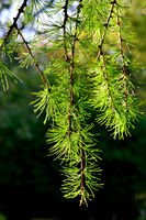 Beautiful twigs of larch close up. Natural background