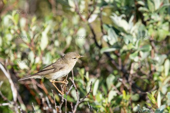 Bird, acrocephalus schoenobaenus, in Nature Reserve in Norway