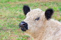 Portrait head of black and white calf in meadow