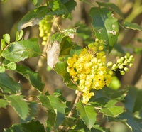 Plant genus flowering shrubs yellow Mahonia bloom at the beginning of spring