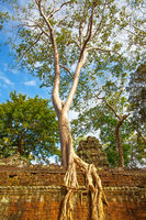 Gant tree with roots on the ancient wall
