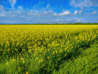 Rapeseed bloom in Ukraine