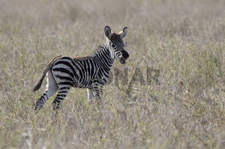 foal of a Plains Zebra that stands in the savannah and calls the adult zebra