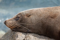 Sleeping seal rests on a rock after a feed