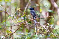 Madagascar bird Paradise-flycatcher, wildlife