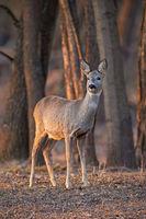 Roe deer, capreolus capreolus, doe standing in forest between trees at sunset.