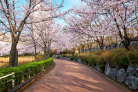 Blooming sakura cherry blossom alley in park