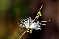 Thilachium angustifolium Wild Chroma flower Madagascar