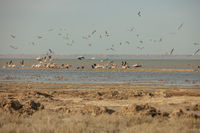 A colony of pelicans.ducks and gulls enjoying the afternoon sun on a sandy island in the Aral sea