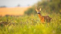 Roe deer buck with asymmetrical antlers looking aside in summer with copy space