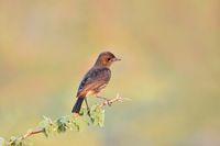 Bushchat, Saxicola caprata, female, Pune, Maharashtra, India