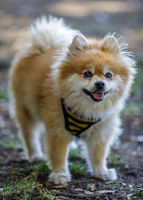 Adult Male Brown and White Pomeranian Portrait.