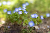 Veronica persica flower or persian speedwell