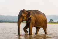 Elephant in the Gandak river in Chitwan National Park, Nepal