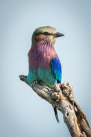 Lilac-breasted roller on dead branch facing right