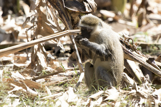 Vervet Monkey that sits on the ground and eats a banana
