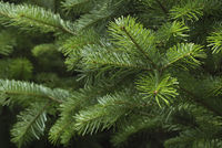 Spruce tree branches close-up. Christmas background.