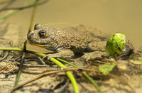Yellow-bellied Toad (Bombina variegata) recognizable by its heart-shaped pupils