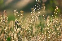 Wild steppe grass backlit shallow DOF