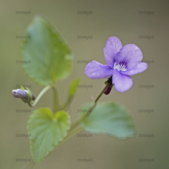 Wood dog violet (Viola reichenbachiana)
