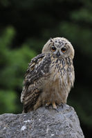 Eurasian Eagle Owl * Bubo bubo * perched on a rock, looks cute