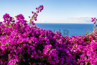 violette Bougainvillea mit Meer, purple Bougainvillea and ocean
